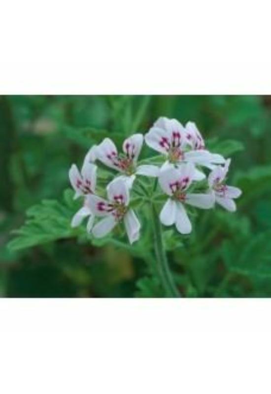 SNIPPP Rózsamuskátli illóolaj (15ml) (Geránium)